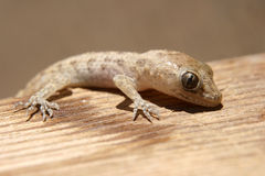 Gecko on wood Stock Images