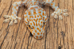 Gecko. A gecko on wood background Stock Photos