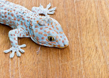 Gecko on the wood wall Royalty Free Stock Image