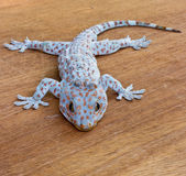 Gecko on the wood wall Royalty Free Stock Photo
