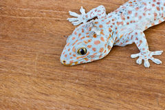 Gecko on the wood wall Stock Images