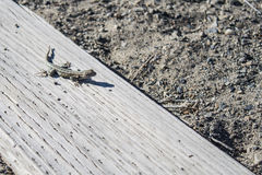 Gecko on a wooden beam Stock Images