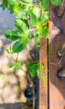 Gecko on a wooden rail. A vibrant green Hawaiian gold dust day gecko walking across a narrow wooden railing on a bright sunny day royalty free stock photo