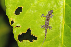 Gecko Xylotrupes Gideon lonely on green leaf with holes, eaten by pests Stock Photo