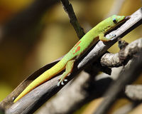 Gecko-Zunge Stockfoto