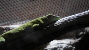 Geckode Madagaskar ein Zoo stock footage