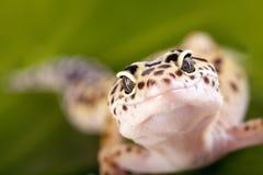 Geckoeidechse Stockfoto