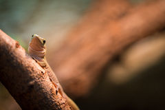 Geckoeidechse Lizenzfreies Stockbild