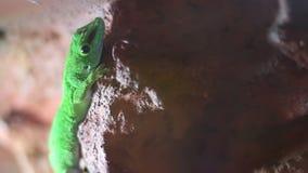 Geckoeidechse stock footage