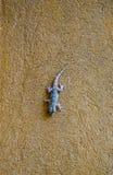 Geckoeidechse Lizenzfreie Stockfotografie