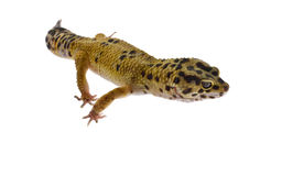 geckoen isolerade leopardwhite Royaltyfri Foto