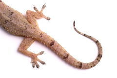 Geckoendstück Stockfotografie