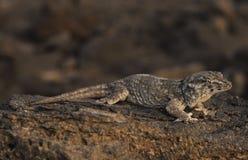 geckojätte royaltyfri fotografi
