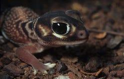 geckoknobtail arkivfoton