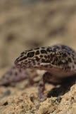 geckoleopard arkivbilder