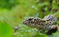 Geckoleopard Stockfotografie