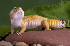 geckoleopard som ser upp arkivbilder