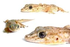 geckomateriel royaltyfria bilder