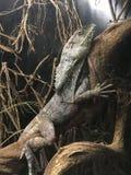 Geckon Arkivfoto