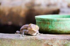 geckon avverkar fr?n v?ggen in i vattenbeh?llare och kl?ttrade p? kanten av handfatet arkivbild
