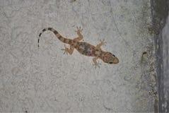 Geckon sitter på en vägg arkivfoto