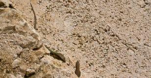 geckos бой стоковая фотография