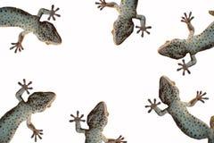Geckos photos libres de droits