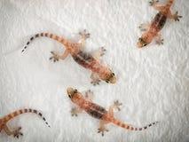 Geckos photo stock