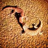 geckos Стоковые Изображения RF
