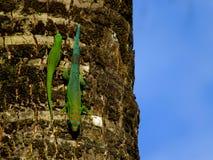 geckos Стоковое Изображение RF