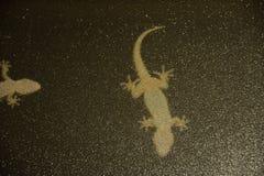 Geckos attachés au verre noué d'une fenêtre photo libre de droits