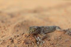 Geckos de lézard photo stock