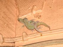 Geckos de la casa (frenatus de Hemidactylus) Imagen de archivo