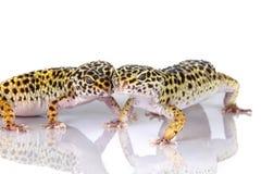 Geckos del leopardo Foto de archivo