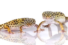 Geckos del leopardo immagine stock