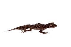 Geckos feuille-coupés la queue par Australien sur le blanc photo stock