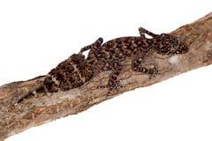 Geckos feuille-coupés la queue par Australien sur le blanc image stock