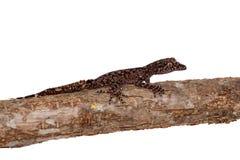 Geckos feuille-coupés la queue par Australien sur le blanc photos libres de droits