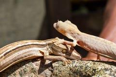 Geckos Feuille-coupés la queue rayés photo libre de droits