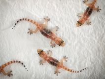 Geckos Stock Photo