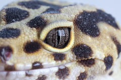 Geckos smile. Macro shot of leopard geckos smile and eye Stock Image