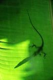 Geckoskugga Arkivbilder