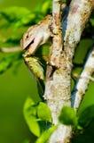 Geco che mangia grande insetto Fotografie Stock