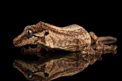 Geco da gárgula do close up, auriculatus de Rhacodactylus olhando fixamente no fundo preto Foto de Stock