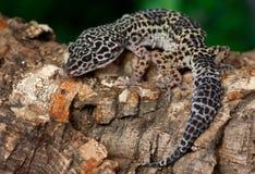 Geco del leopardo Fotografie Stock Libere da Diritti