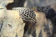 Geco del leopardo Immagine Stock Libera da Diritti