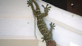 Geco di gekko del geco di Tokay che si siede sulla parete video d archivio