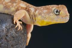 Geco di scortecciamento/garrulus di Ptenopus fotografia stock