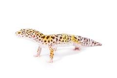 Geco do leopardo Imagens de Stock