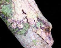 Geco Foglia-munito muscoso in migliori sikorae di Uroplatus del cammuffamento nella foresta pluviale Madagascar di Mantadia fotografia stock